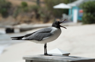 Laughing Gull - Mustique