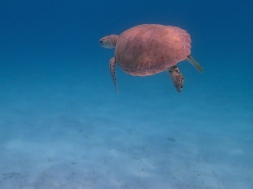 Turtle - Tobago Cays