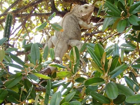 Iguana - Baradel, Tobago Cays